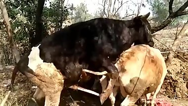 Cow Mating Wonderfull